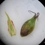 Carex riparia epi mâle -PN-Gombervaux
